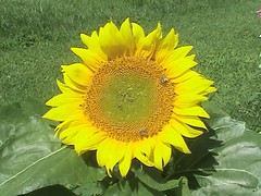 Sunflower In Front Yard