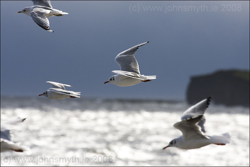 Seagulls over Salthill