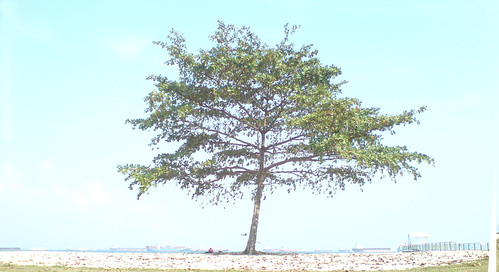 Bright tree east coast Singapore
