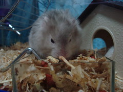 DSC02125 (prudencemadness) Tags: hamsters