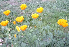 kalifornischer Mohn (e-sch) Tags: poppy blooms eschscholzia californica eckhard goldmohn escholzia eschscholtzia escholtzia papaveroideae schlafmtzchen kappenmohn majorad