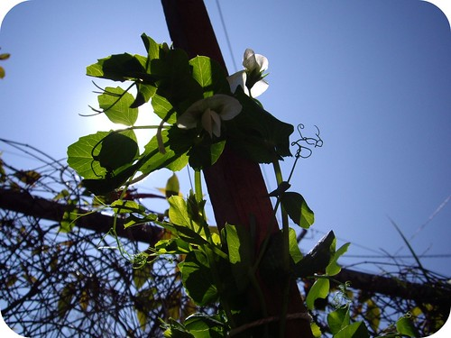 dawrf peas are flowering