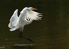 Great White Egret...Five Shots...Shot Five (ozoni11) Tags: lake bird nature birds animal animals nikon lakes wetlands egret greategret wetland egrets columbiamaryland greatwhiteegret greategrets d300 greatwhiteegrets wildelake nikkor80400mmvr michaeloberman ozoni11