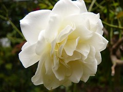 white_tea_rose