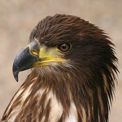 Bird of Prey (Heaven`s Gate (John)) Tags: england macro bird nature closeup dangerous eagle beak feathers falcons avian birdofprey kidderminster 500x500 10faves specanimal falconrycentre johndalkin heavensgatejohn p1f1 platinumphoto avianexcellence