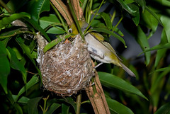A Silvereye Feeding Chick/s in the Nest (Craig Jewell Photography) Tags: tree bird leaves garden backyard branch nest feeding brisbane telephoto tiny chicks silvereye nesting hatched whiteeye perching lateralis zosterops zosteropslateralis smcpentaxm135135mm smcpm135mmf3 craigjewellphotography