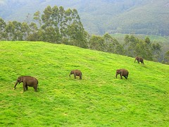 Wilds in the mountain...Run..run..run... (ArunaR) Tags: wild india mountain animal fauna sony hill kerala greenery elephants munnar arunar wildelephants malayalikoottam drisyam2008
