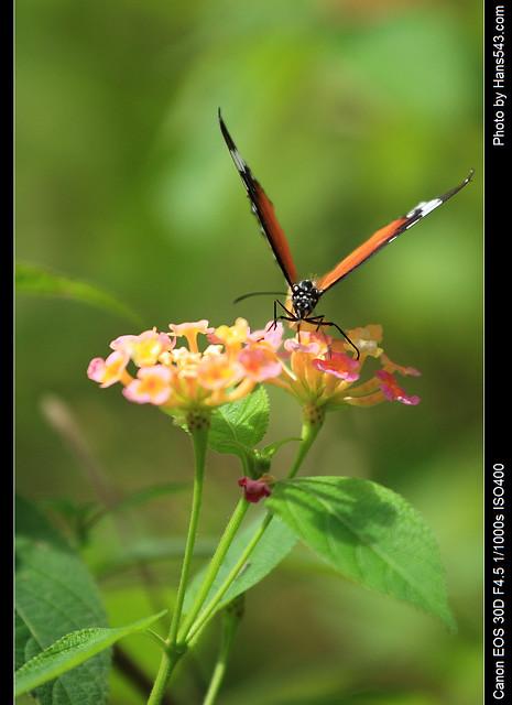 蝴蝶_Butterfly_12
