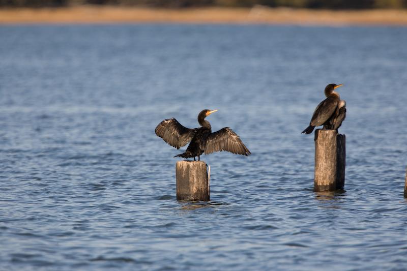 cormorant-ff