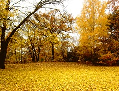 Sea of leaves (Nin) Tags: autumn tree fall leaf hst trd lv