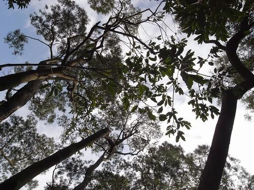 你拍攝的 10相思樹。