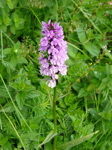 Spotted Orchid (Dactylorhiza sp.)