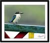 Collared Kingfisher (Todiramphus chloris) (Z.Faisal) Tags: blue bird station river nikon mangrove kingfisher nikkor bangladesh bangla collared faisal desh d300 zamir khulna chloris collaredkingfisher todirhamphuschloris sundarban todiramphus todiramphuschloris todirhamphus whitecollared mangrovekingfisher whitecollaredkingfisher machranga zamiruddin zamiruddinfaisal kalagachi kholpetua kalagachistation kholpetuariver dholaghar dholagharmachranga zfaisal