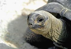 Tortue (laurent KB) Tags: schildpad tortoise tortuga tartaruga  schildkrte