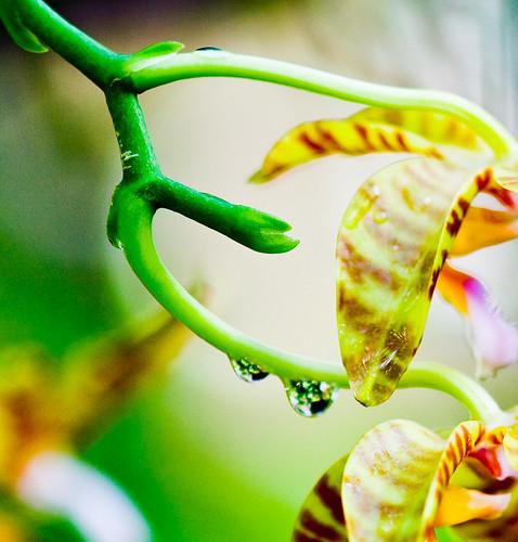 Raindrop / Orchid Bokeh