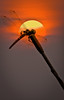A Dragonfly Sunset (saternal) Tags: dragonfly 1001nights ih mywinners saternal