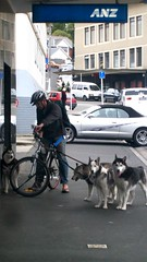 Huskies / Malamuts (gutenblerg2) Tags: blue iris dog snow eye woof bike hair team canine huskies american bark sledge reins malamut