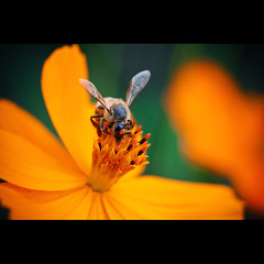 Beeeeeeee... (Fernando Delfini) Tags: test flower macro nature beauty canon eos fly focus perfect photographer dof shot bokeh quality sopaulo details natureza fineart flor picture insects 100mm bee bumblebee abelha sampa sp inseto fernando sharpen fotografia 2008 ef impressive wannabe delfini natgeo delicated abigfave aplusphoto fernandodelfinicom