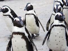 [フリー画像] [動物写真] [鳥類] [ペンギン] [ケープペンギン]       [フリー素材]
