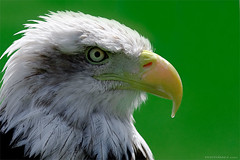 American Bald Eagle II (Photosaez.com) Tags: espaa david nature canon spain eagle web bald 1d aguila markiii saez calva 100400 quarzoespecial fantasticwildlife davidsaez photosaez