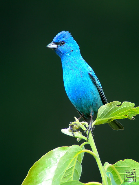 Male Indigo Bunting, May 2011