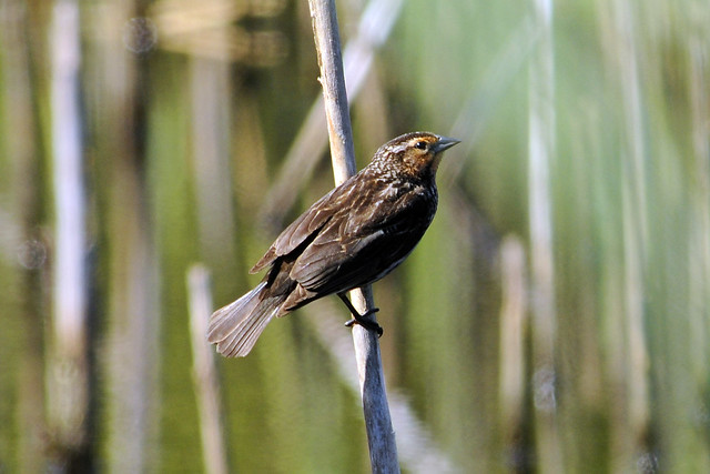 toms female Red-winged female in the marsh 2