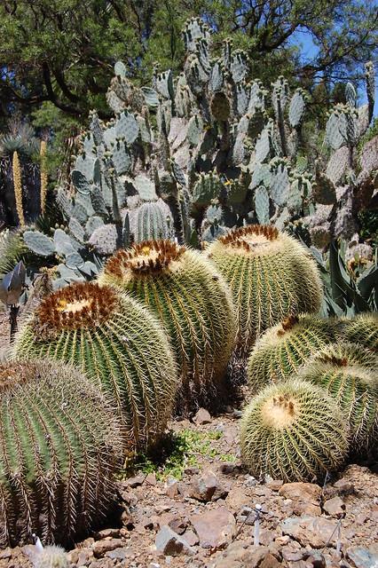 """Echinocactus grusonii """"Barrel Cactus"""""""