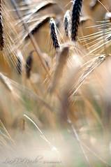 Campi di Grano (luca.de.nardo) Tags: estate campo oro grano
