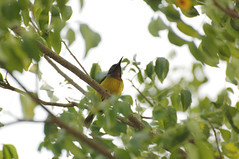 Brown-throated Sunbird (Male) (Birdie Human) Tags: male sunbird brownthroated