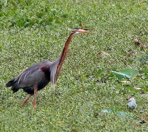 grey heron in lalbagh lake 220308