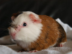 Ear Mites in Guinea Pigs http://www.flickr.com/groups/guinea_pig_heaven/discuss/72157605169573032/