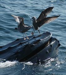 Humpback Whale Feeding SBNMS
