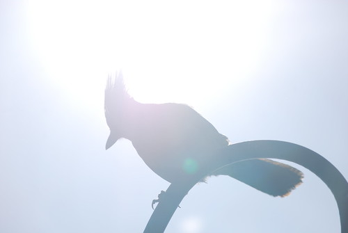 Looming Backlit Jay