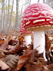 Amanita muscaria (giansacca) Tags: funghi amanita muscaria fungi mushrooms champignons pilz ciuperci fungo mushroom flyagaric fly agaric fliegenpilz hongo 510fav topic fungus amanitamuscaria flickrhivemind expressyourselfaward friends seta