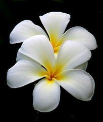 Double Plumeria (janruss) Tags: fab flower floral hawaii searchthebest plumeria hawaiian frangipani breathtaking excellence onblack naturesfinest blueribbonwinner mouseion lifeasiseeit supershot masterphotos mywinners abigfave platinumphoto anawesomeshot ultimateshot diamondclassphotographer flickrdiamond citrit theboldflower envyofflickr elitephotography macromarvels theperfectphotographer superperfectphotographer thegardenofzen excapturemacro macroflowerlovers world100f superbmacroflowers natureselegantshots multimegashot mimamorflowers salveanatureza breathtakinggoldaward flickrfloresemacros 100commentgroup flickrflorescloseupmacros saariysqualitypictures sensationalphoto thebestofmimamorsgroups worldsartgallery janruss unforgettableflowerscontest8 janinerussell newgoldenseal