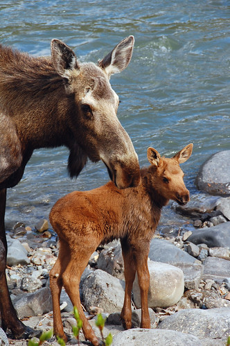 Moose Cow and Calf (I)
