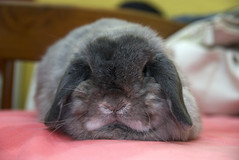 Power play pok (jade_c) Tags: pet cute rabbit bunny animal mammal singapore adorable opal  hollandlop andora  lagomorph opalhollandlop