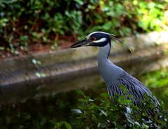 Japanese Gardens, Hermann Park - YCN Heron