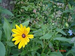 Russett Garden July 2008 003 (finecraic) Tags: toronto garden july blackeyedsusan