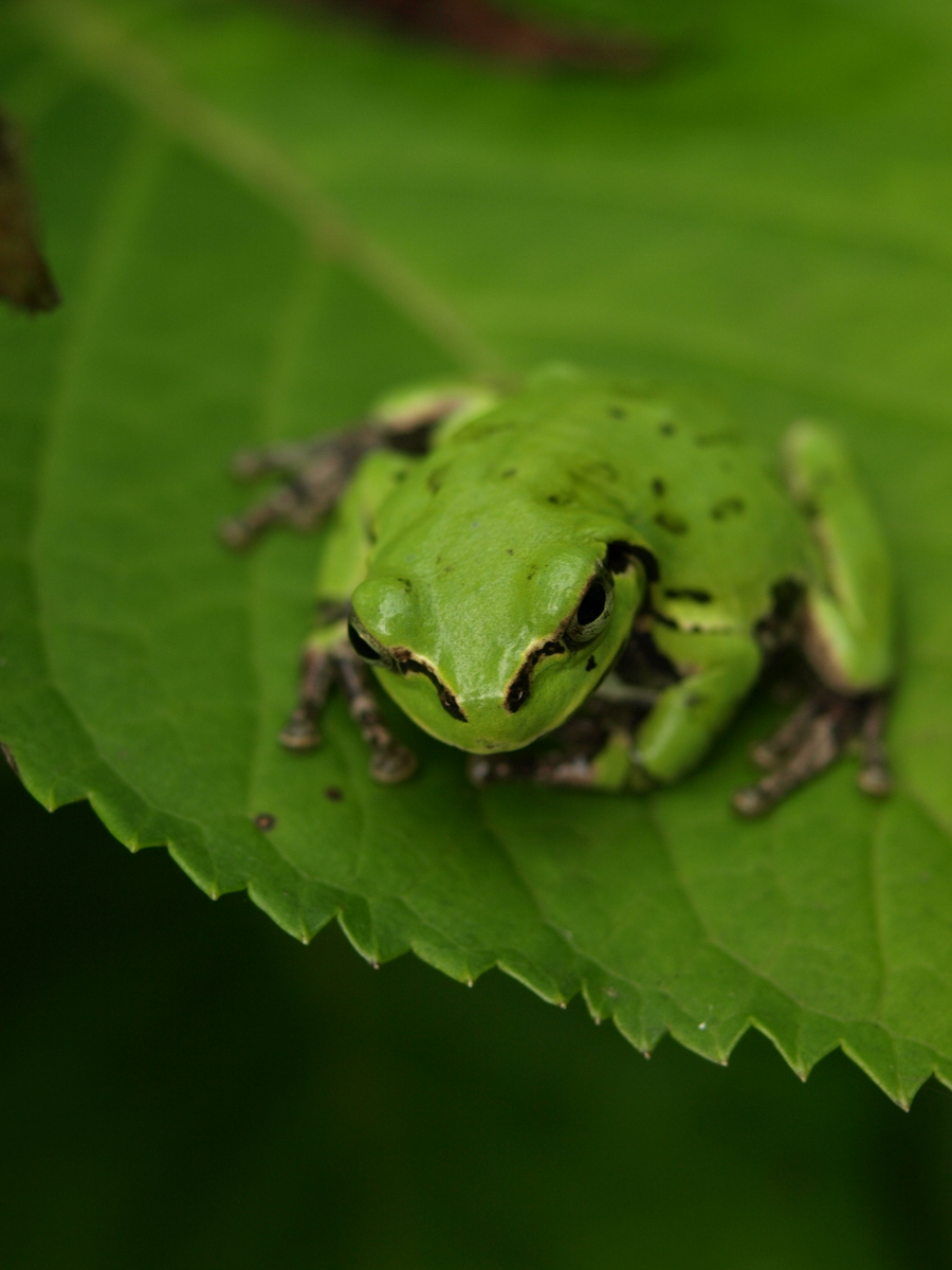 Frog of Japan in Aso II