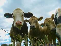 Hmmmmmm....where's your Canon gone then??? (law_keven) Tags: england field animals milk cows farming moo essex bovine dedham farmyard farmyardanimals bej anawesomeshot impressedbeauty theunforgettablepictures goldstaraward rubyphotographer damniwishidtakenthat