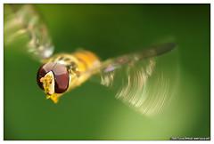 Dipt�re - fly in flight