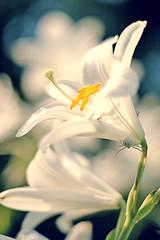 (karaidavid) Tags: flower spider virág
