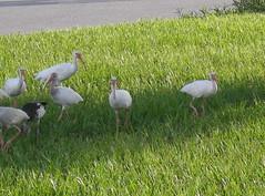 P8030009 (gruntersdad) Tags: birds ibis mylawn