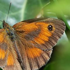 Le papillon (BrigitteChanson) Tags: animal butterfly papillon mariposa farfalla insecte naturethroughthelens