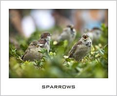 SPARROWS (euskadi 69) Tags: paris nature birds canon jardin sparrow oiseaux 135f2 moineaux platinumphoto aplusphoto visiongroup vision100 lesamisdupetitprince