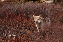 Out of the Grasses (Dan King Alaskan Photography) Tags: beautiful animal yellow alaska fur hurt eyes wolf wildlife canon20d wounded animalrights cable story scar wolves encounter k9 cruelty scarred snare animalcruelty timberwolf denalinationalpark packs greywolf trappers canislupus trapping sigma80400mm alaskawildlife ysplix snaretraps preditorcontrol