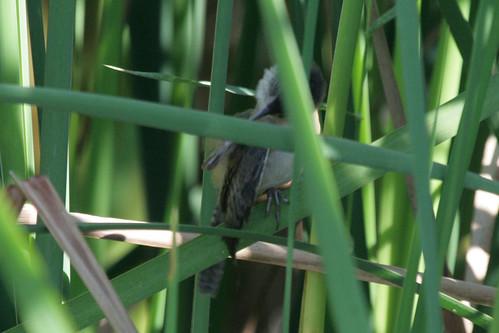 Marsh Wren Preening