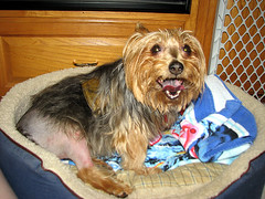 BrokenLexi022 (mary2678) Tags: dog pet leg australian surgery terrier torn lexi acl stiches