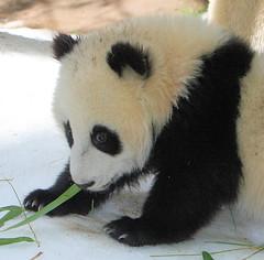 Zoom Zoom sneaks some boo (kjdrill) Tags: china california bear usa baby animal giant zoo cub panda sandiego bears fv10 pandas endangeredspecies zhenzhen 0795